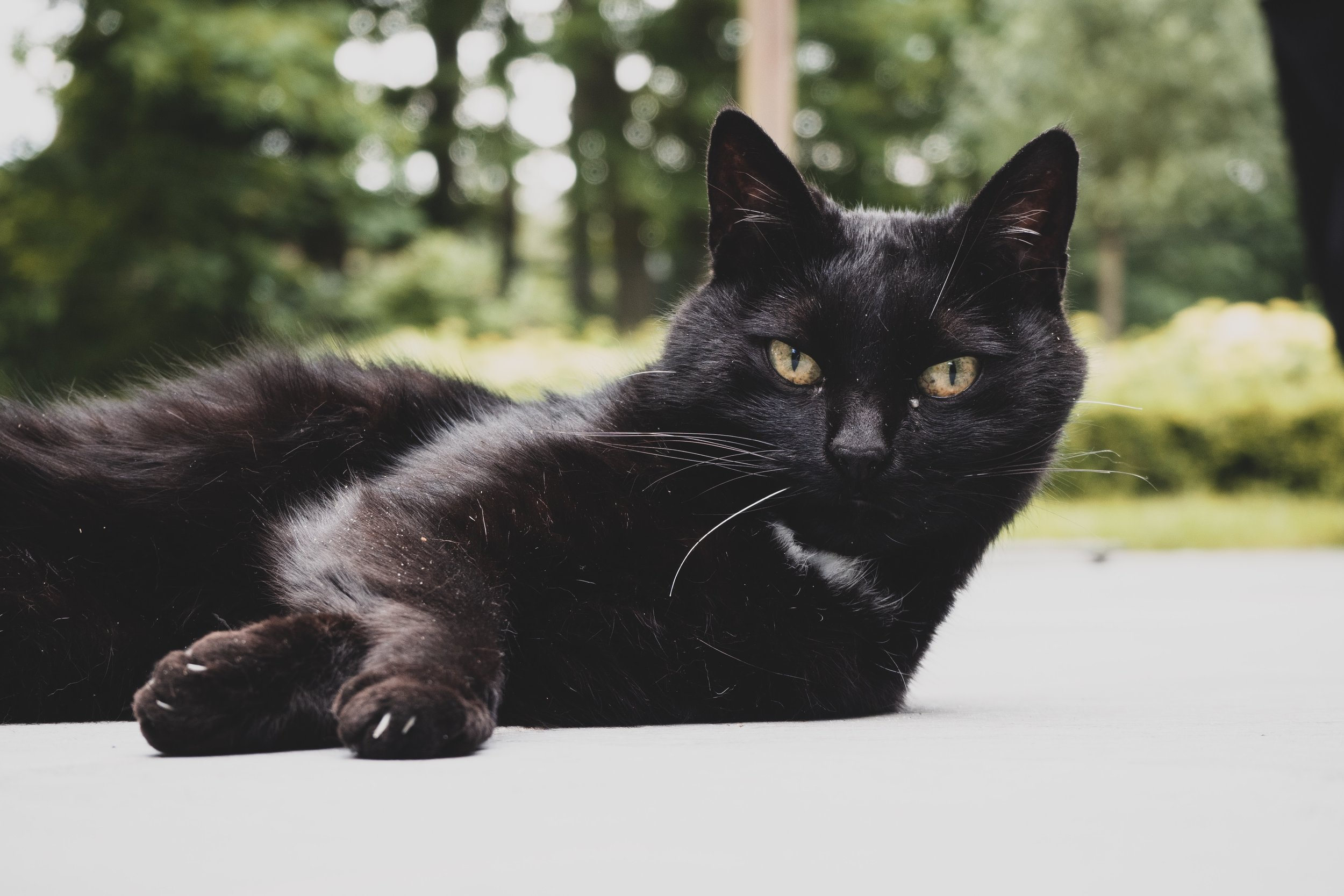 All About Bombay Cats