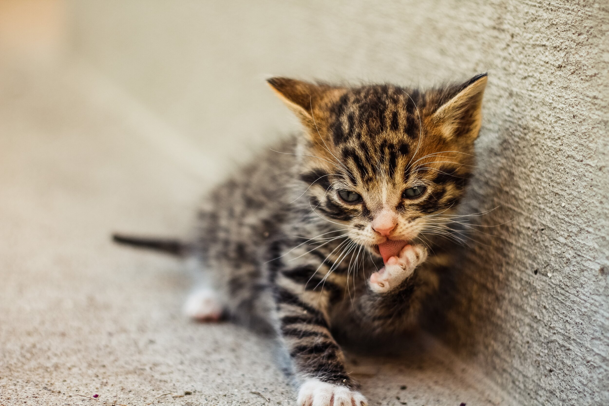 how to care for a four week old kitten #kittendevelopment