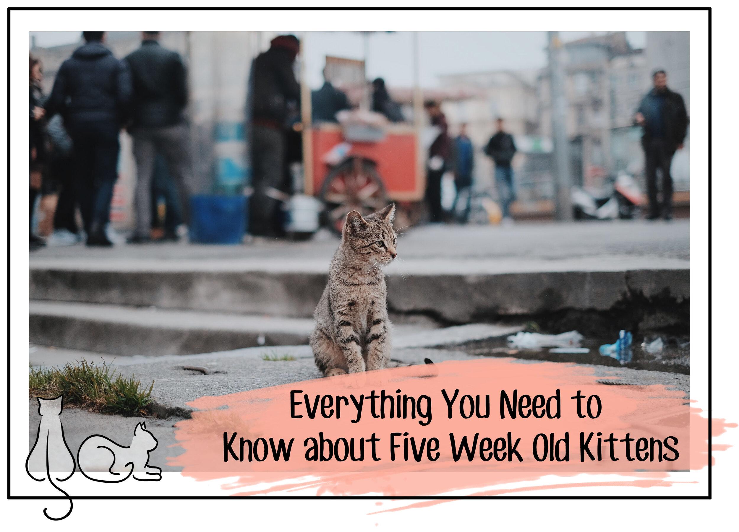 five week old kitten header.jpg