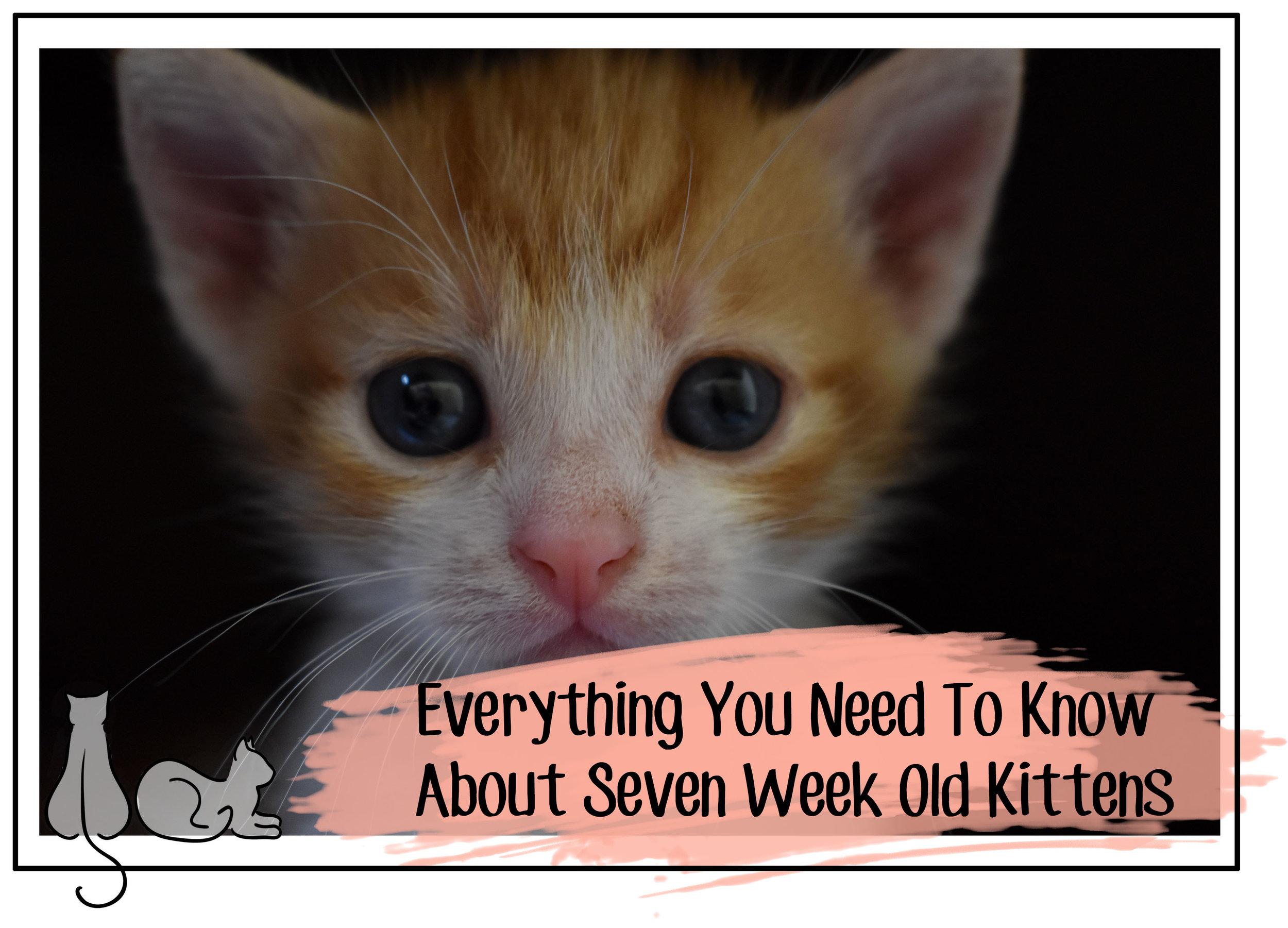 seven week old kittens header.jpg