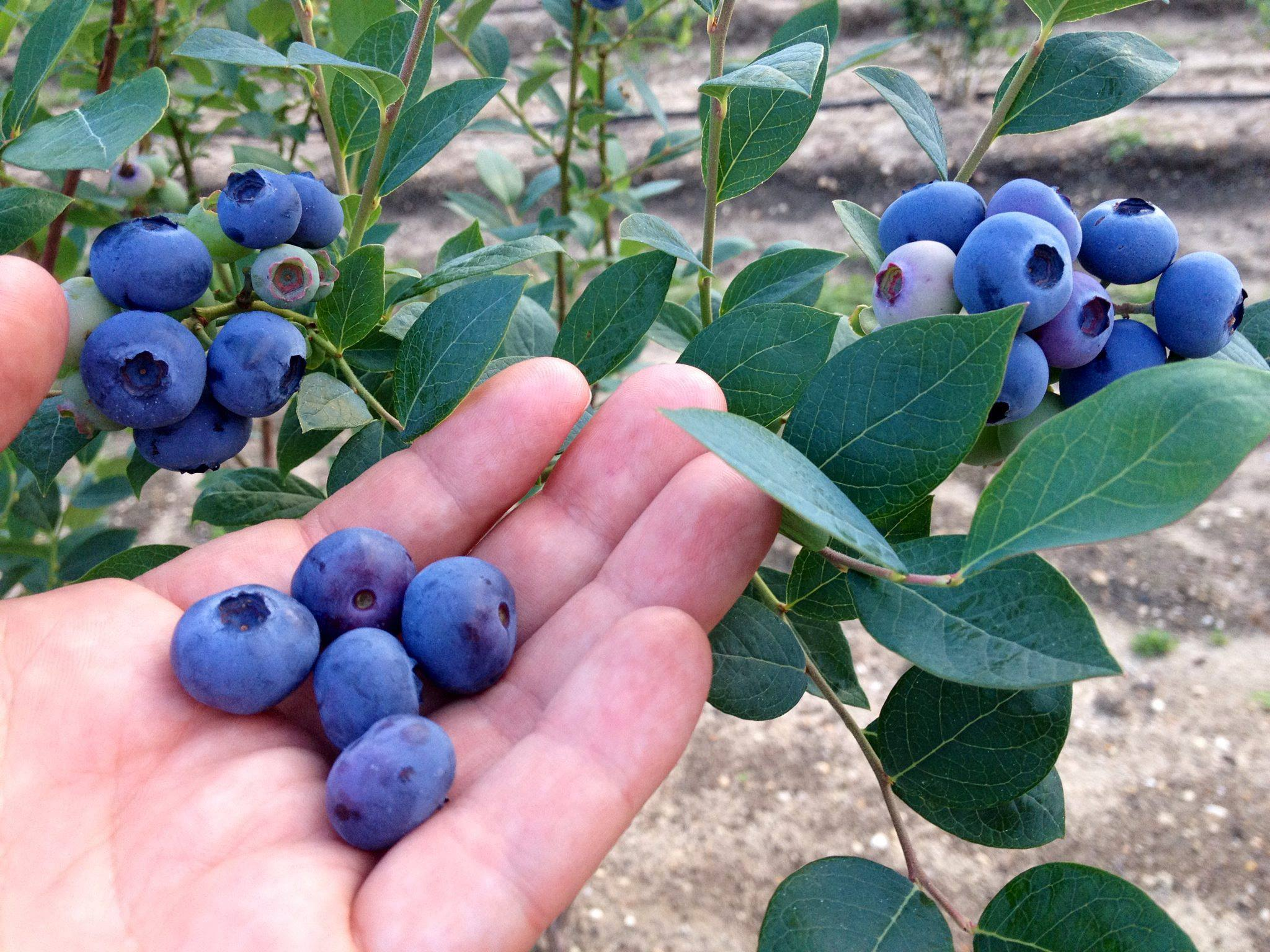 Blueberry Plants For Sale Blueberry Bushes From Dimeo Farms