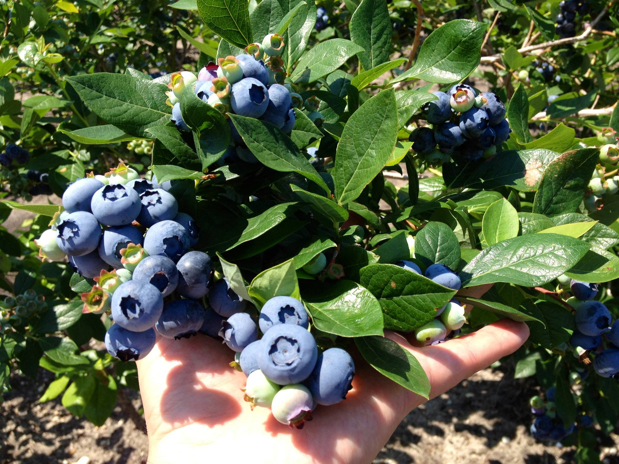 Blueberry Plants Blueberry Plants For Sale Blueberry Bushes