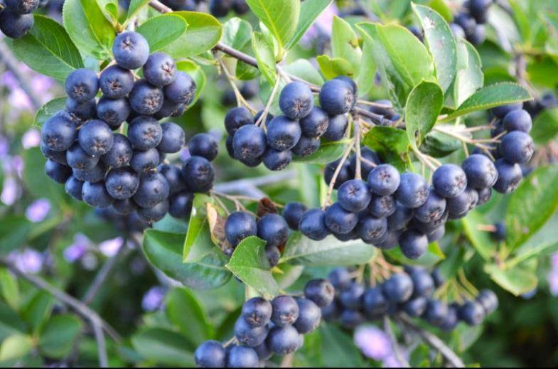 aronia plants for sale.jpg