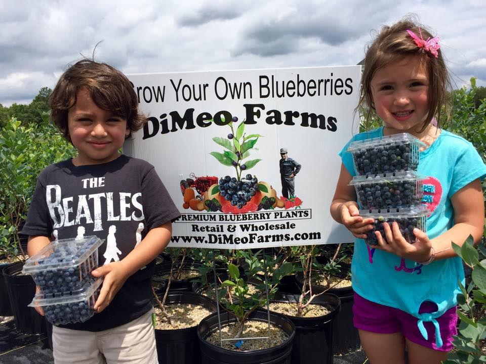 Blueberry Plants for Sale - Blueberry Bushes from DiMeo Farms