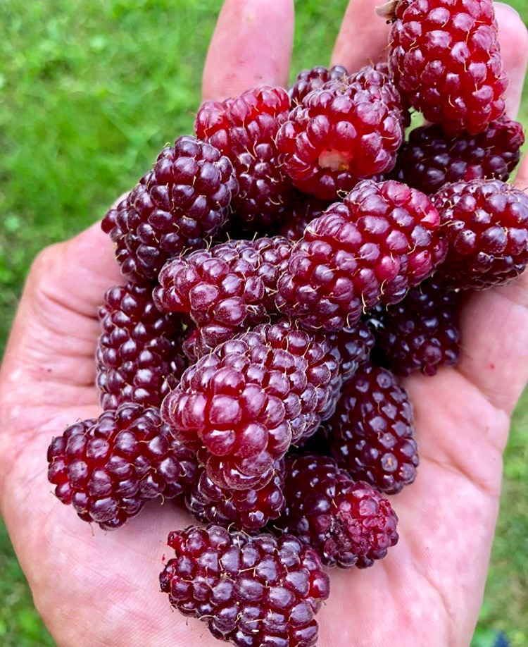 Red Raspberry Plants for Sale.jpg