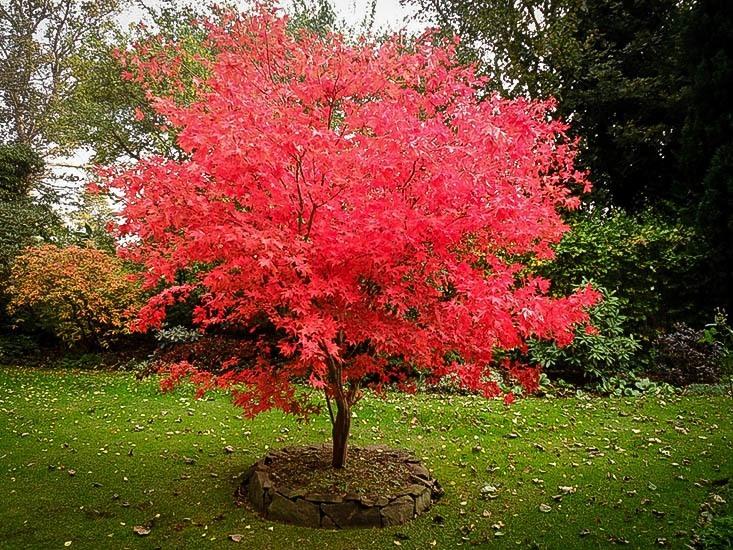 japanese-maple-osakazuki-2.jpg