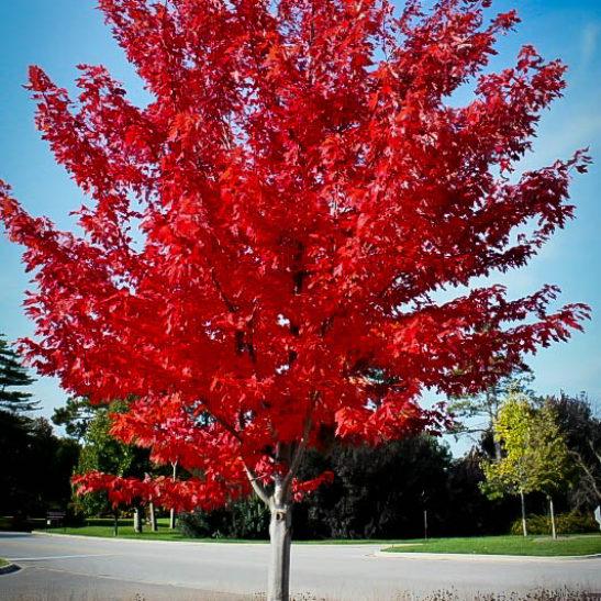 autumn-flame-maple-1-547x547.jpg