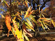 2014-11-02_12_55_20_Willow_Oak_foliage_during_autumn_along_Great_Woods_Drive_in_Ewing,_New_Jersey.JPG