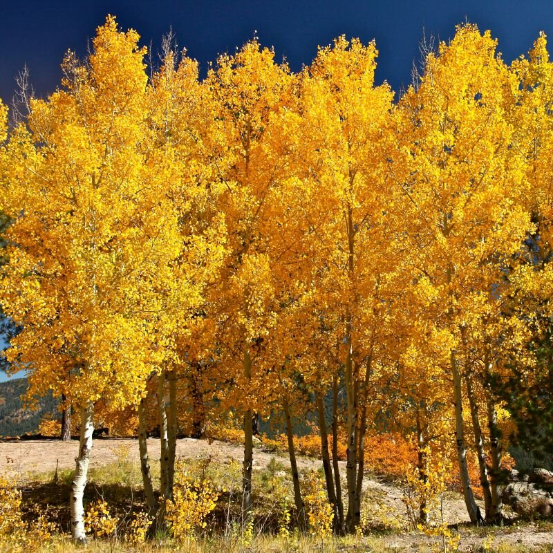 quaking-aspen-tree-800x800.jpg