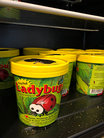 Lady Bugs Available at Banting's!