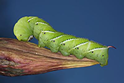 Tomato Hornworm