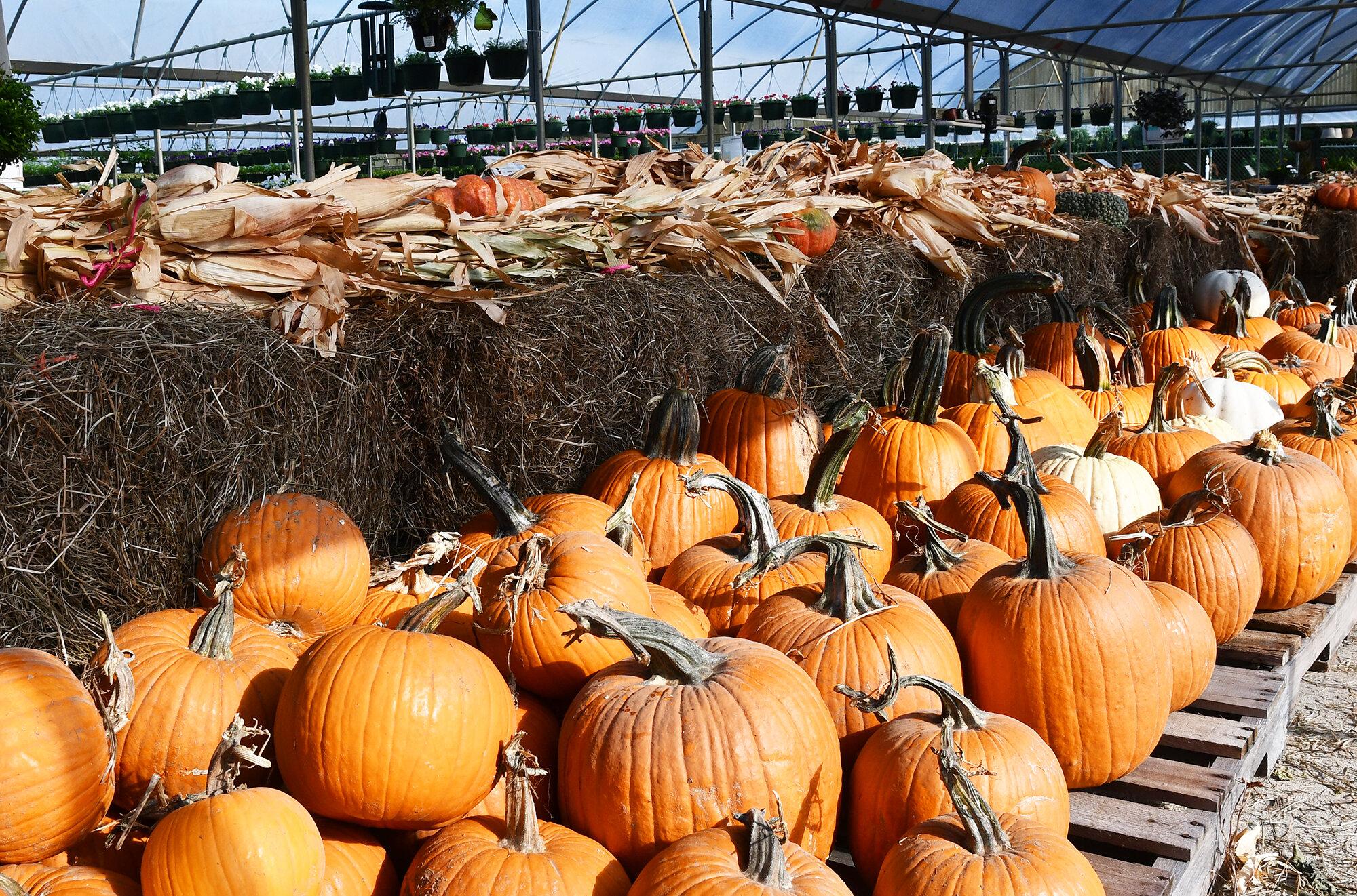 pumpkin patch-lacombe.jpg