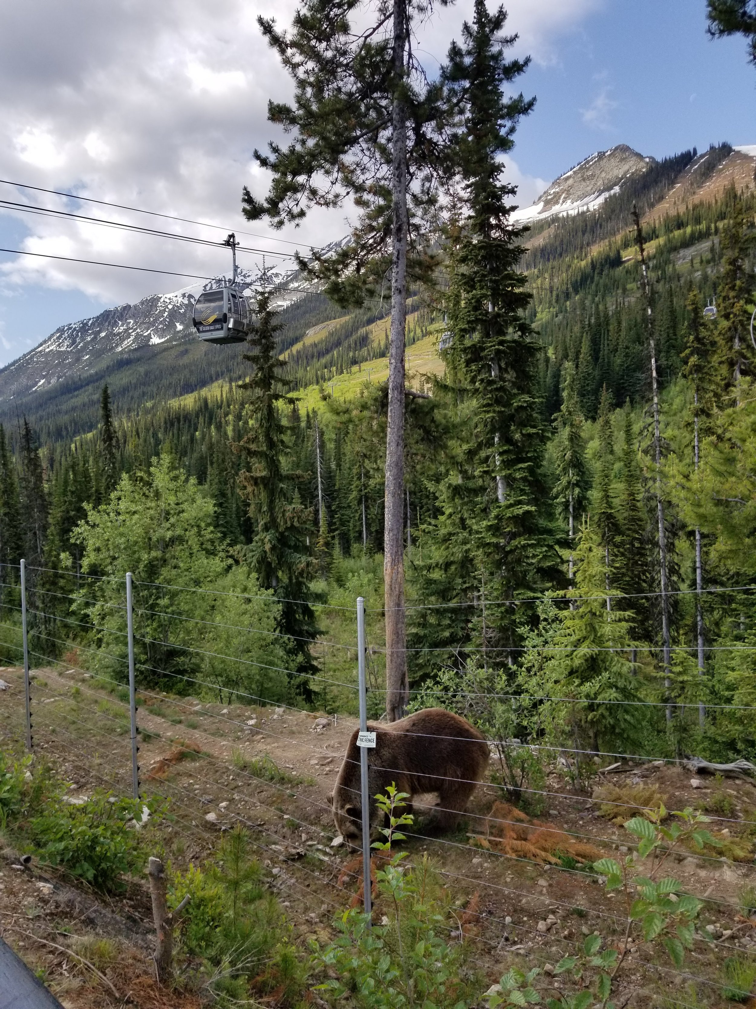 Kicking Horse gondola floats above Boo's habitat. Photo by Carrie Dow.