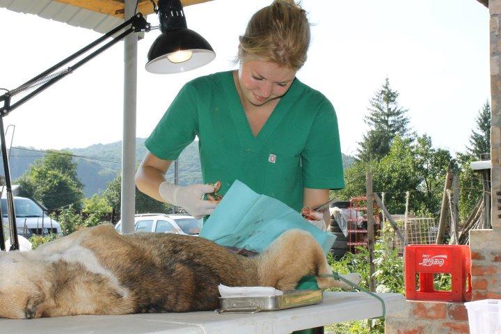 Surgery assistant at spayathon. Photo by Diana Topan.