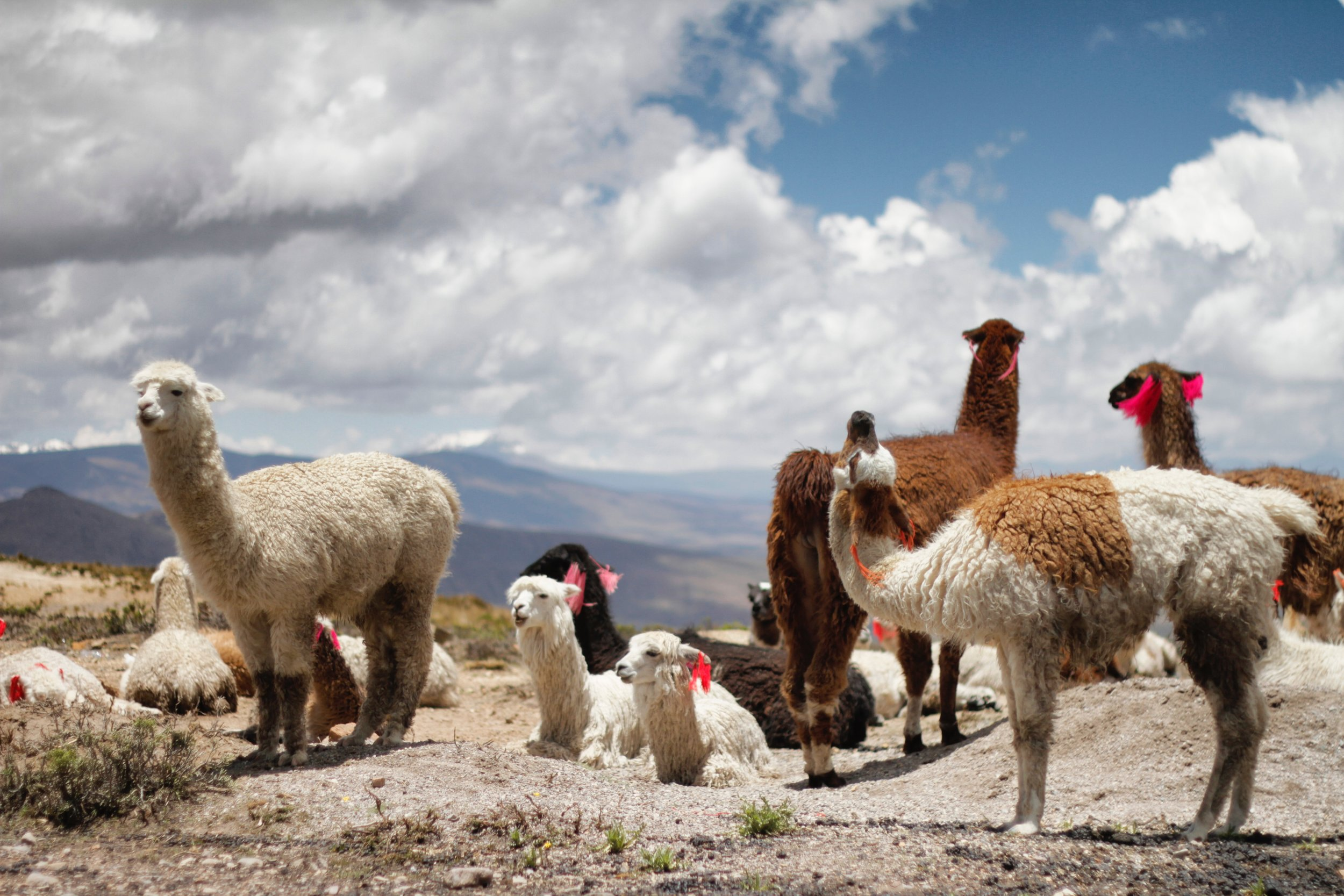 llamas Peru running retreat by Aire Libre