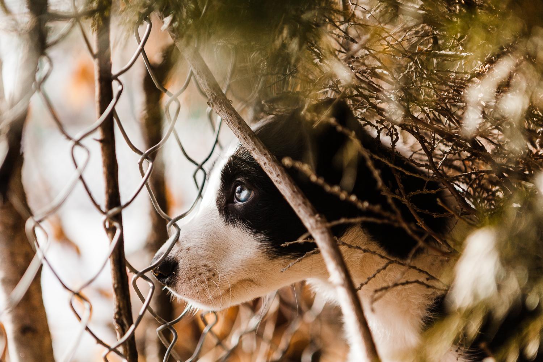 cute border collie puppy_002.jpg