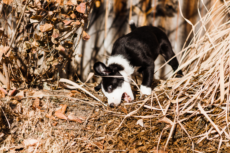 cute border collie puppy_001.jpg