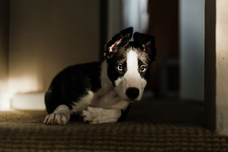 cute border collie puppy_007.jpg