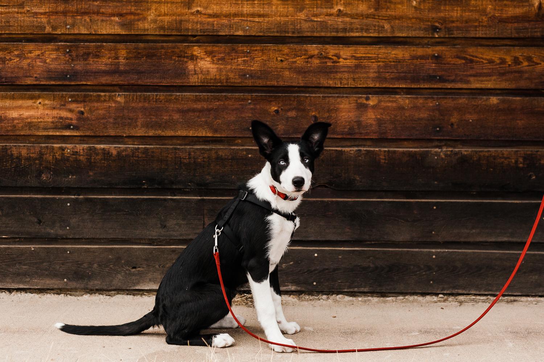 cute border collie puppy_008.jpg