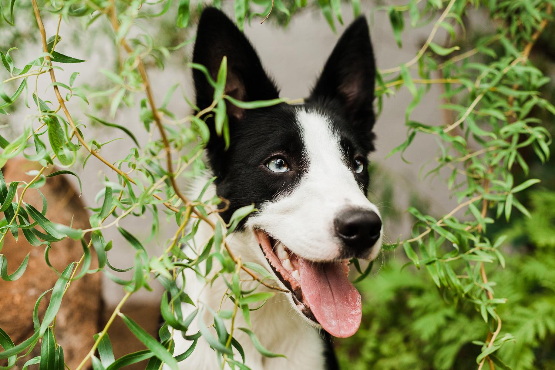 cute border collie puppy_013.jpg