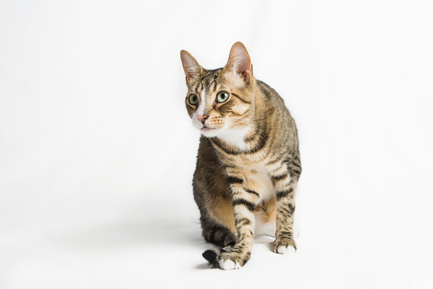 colorado-pet-portraits-cats-in-studio_010.jpg