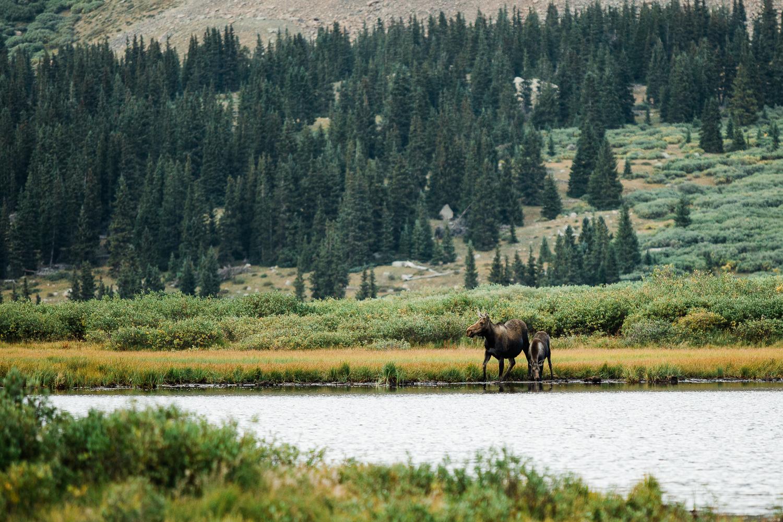 denver mountain moose_001.jpg