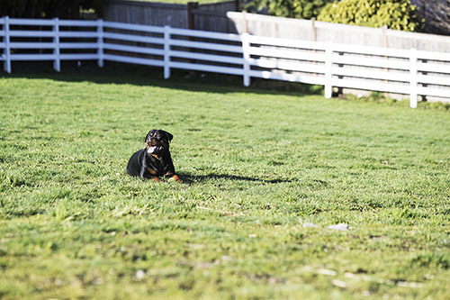 At C & G German Import Rottweilers the happiness of our dogs is important to us. Our Rottweilers roam freely on our 55,000 square feet of acerage located in Snohomish, WA, and sleep comfortably indoors at night.