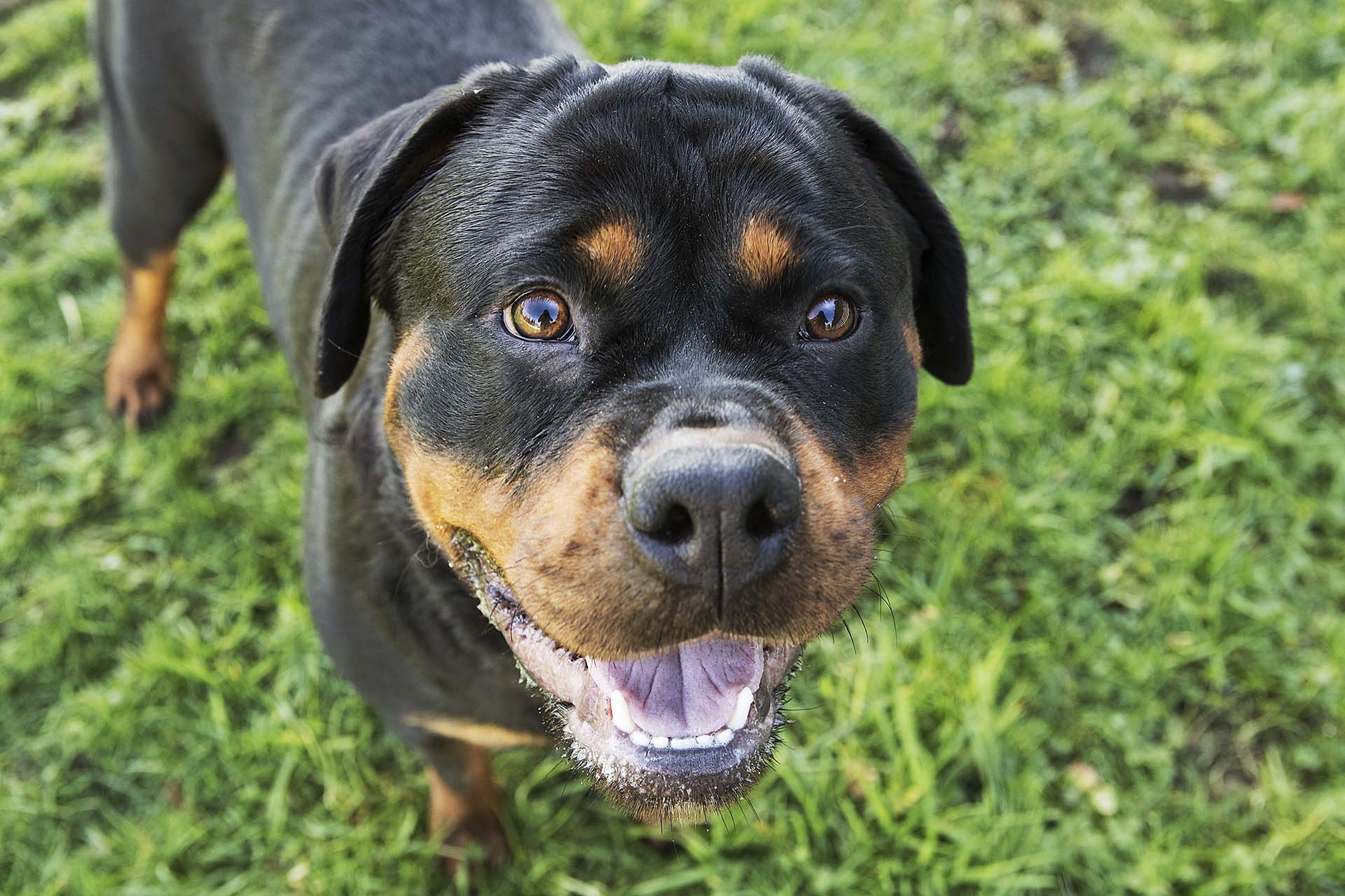 Ferrari of C & G German Rottweilers aims to please. She is incredibly smart, energetic and loving which makes her a true superstar.