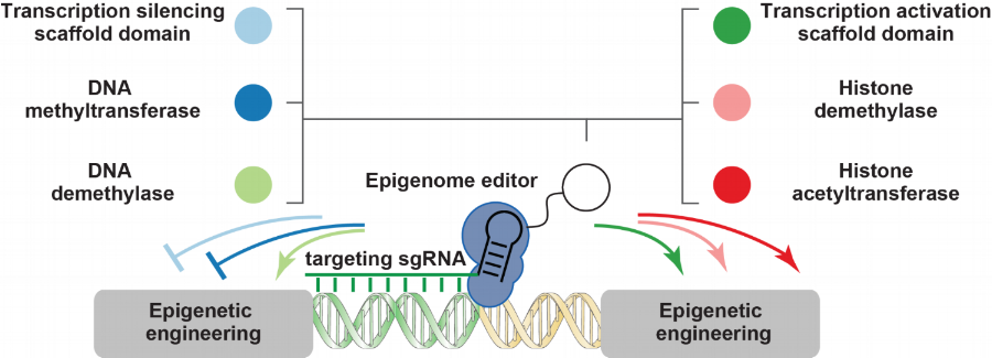 repurposing CRISPR to control the epigenome.png