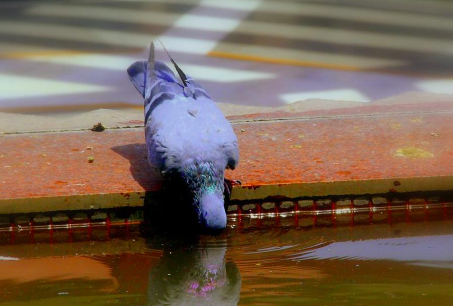 Art: Pigeon drinking water in Kerala, India. Photographer: Satheesannair Chellappan