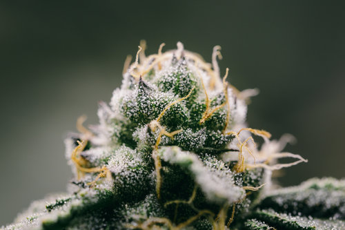 Girl Scout Cookies -