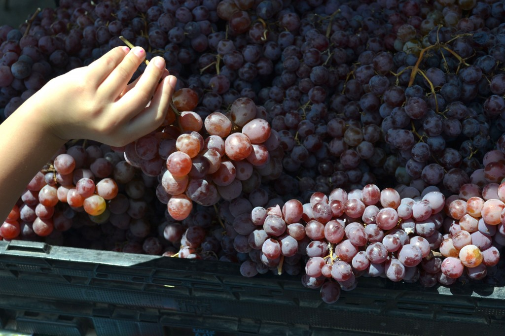 HarvestGrapes1-1024x682.jpg