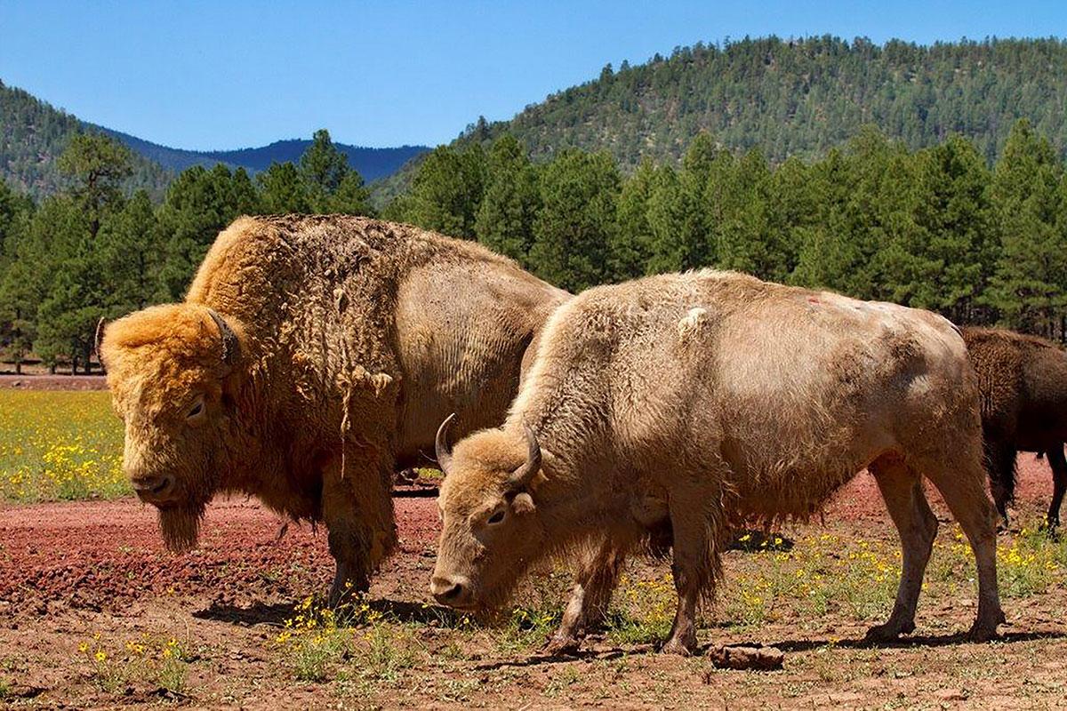 bearizona-williams-white-bison.jpg