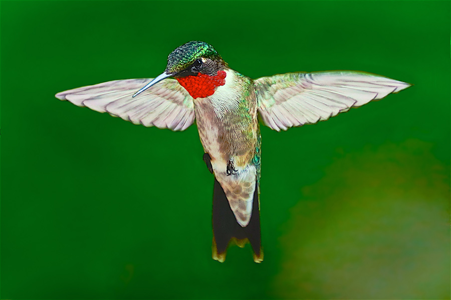 Hummingbird_00I3112.jpg