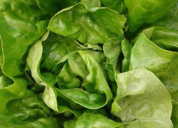 Lettuce%2B%25282%2529.jpg