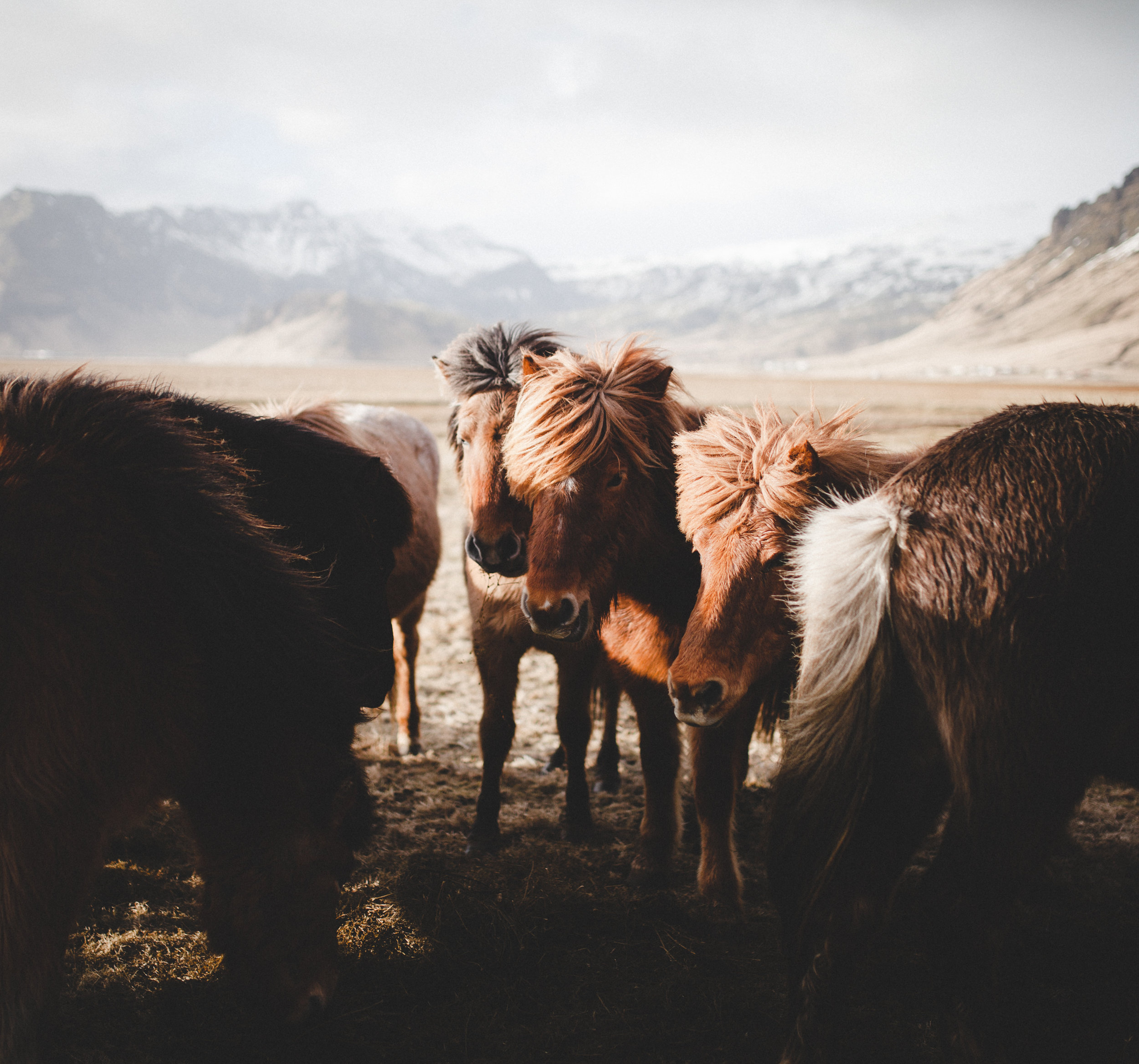 Icelandichorses
