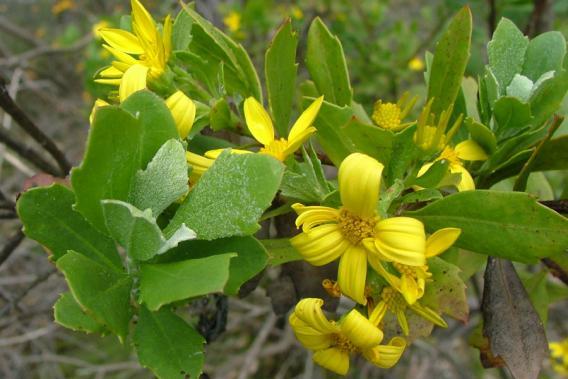 chrysanthemoides_monilifera_monilifera8.jpg