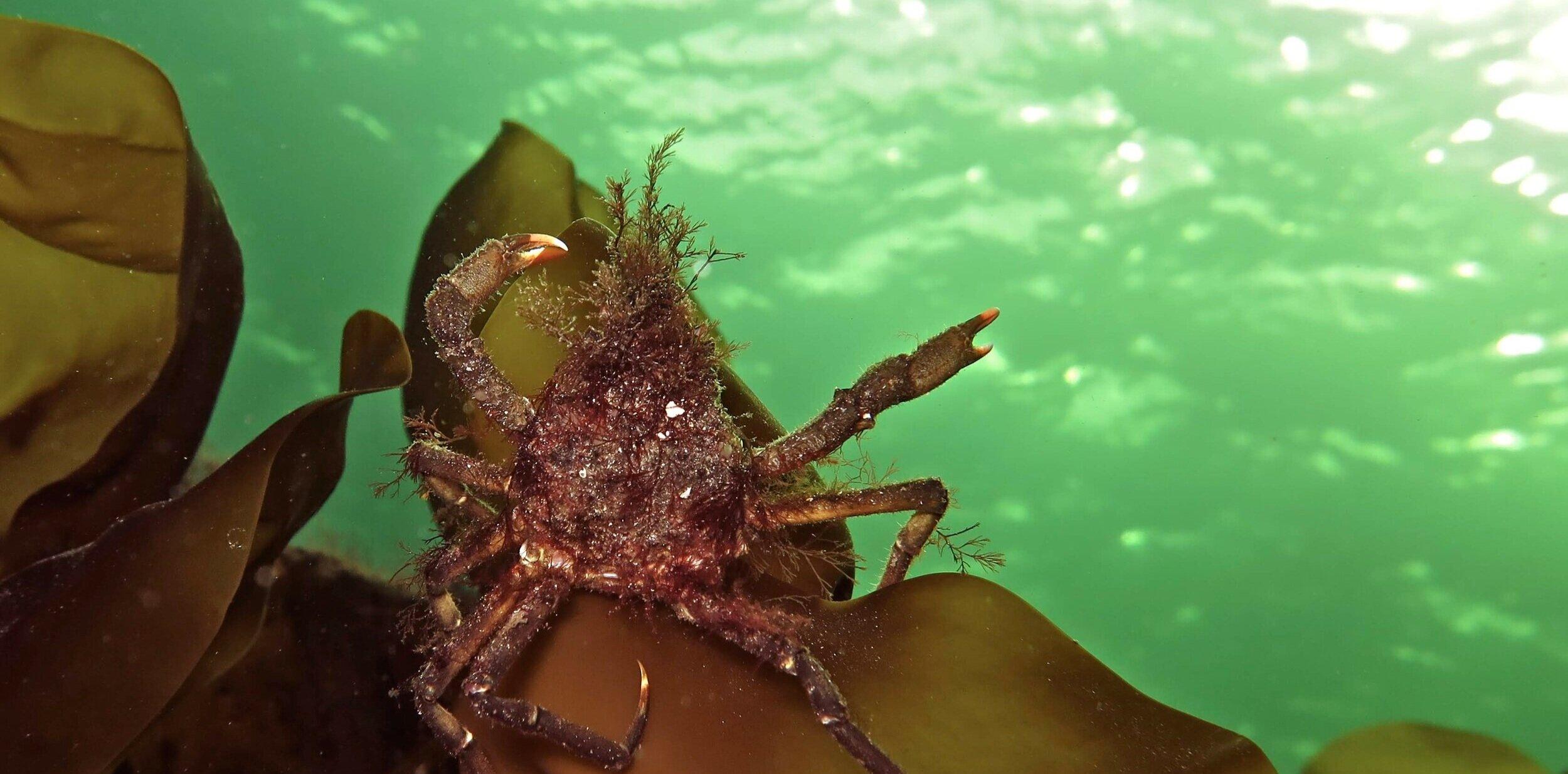 Dab crab. Foto: Tine Kinn Kvamme