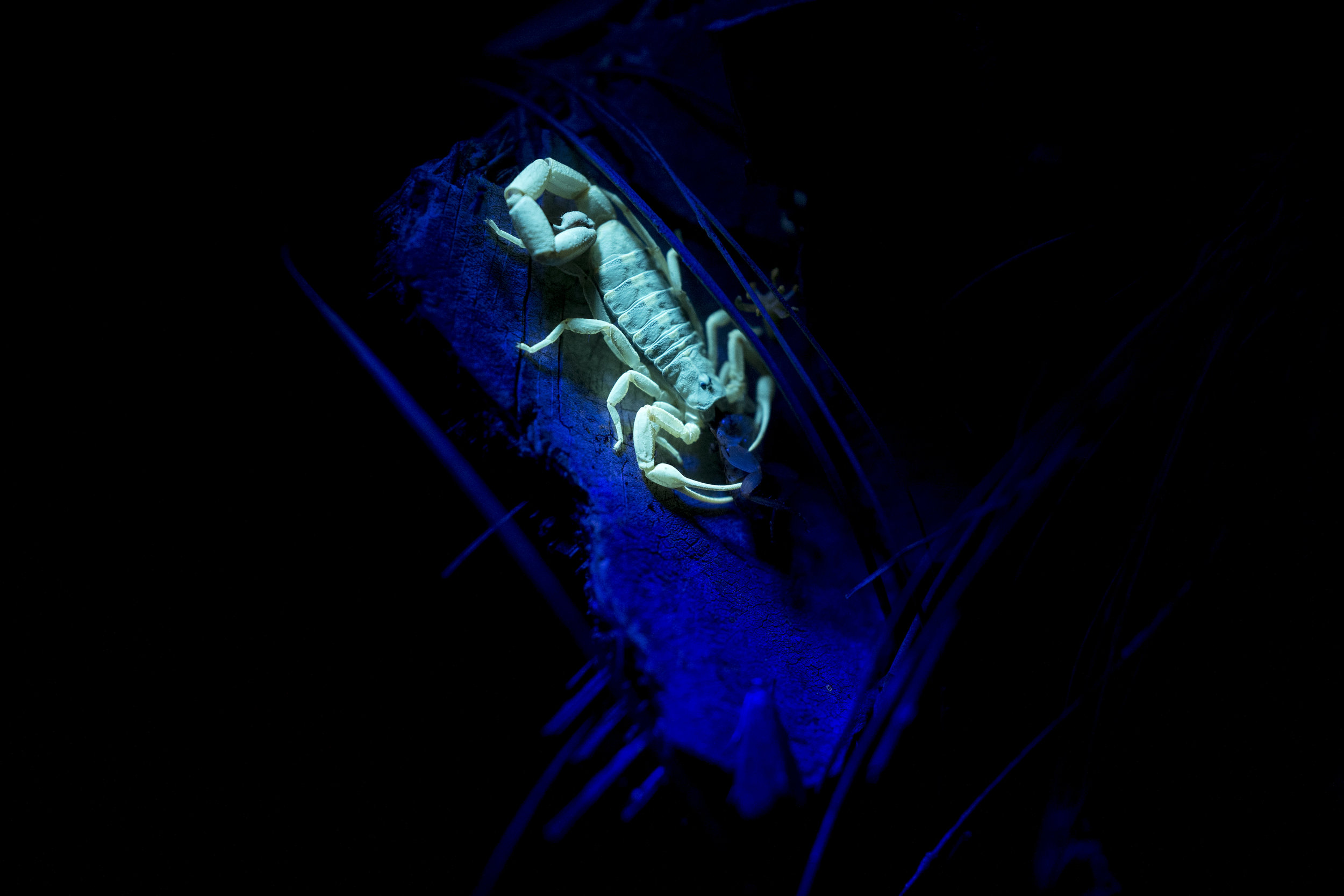A scorpion lit by a uv flashlight