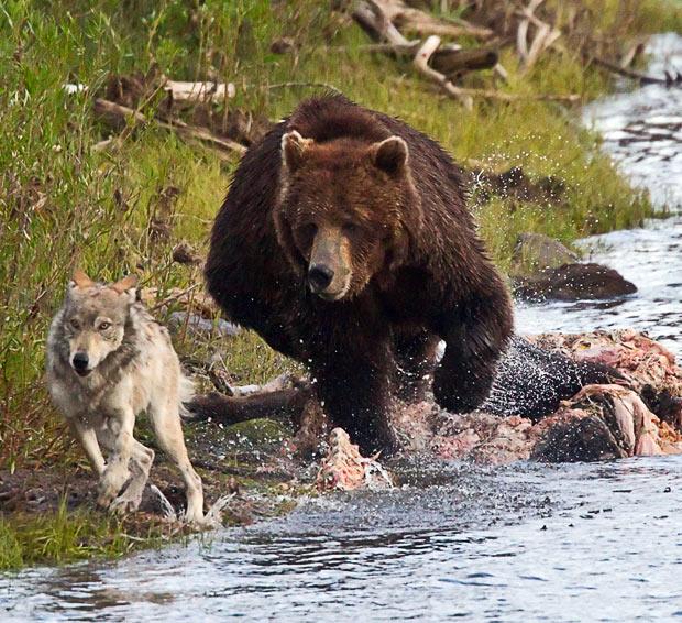 wolf-bear_1749454i.jpg