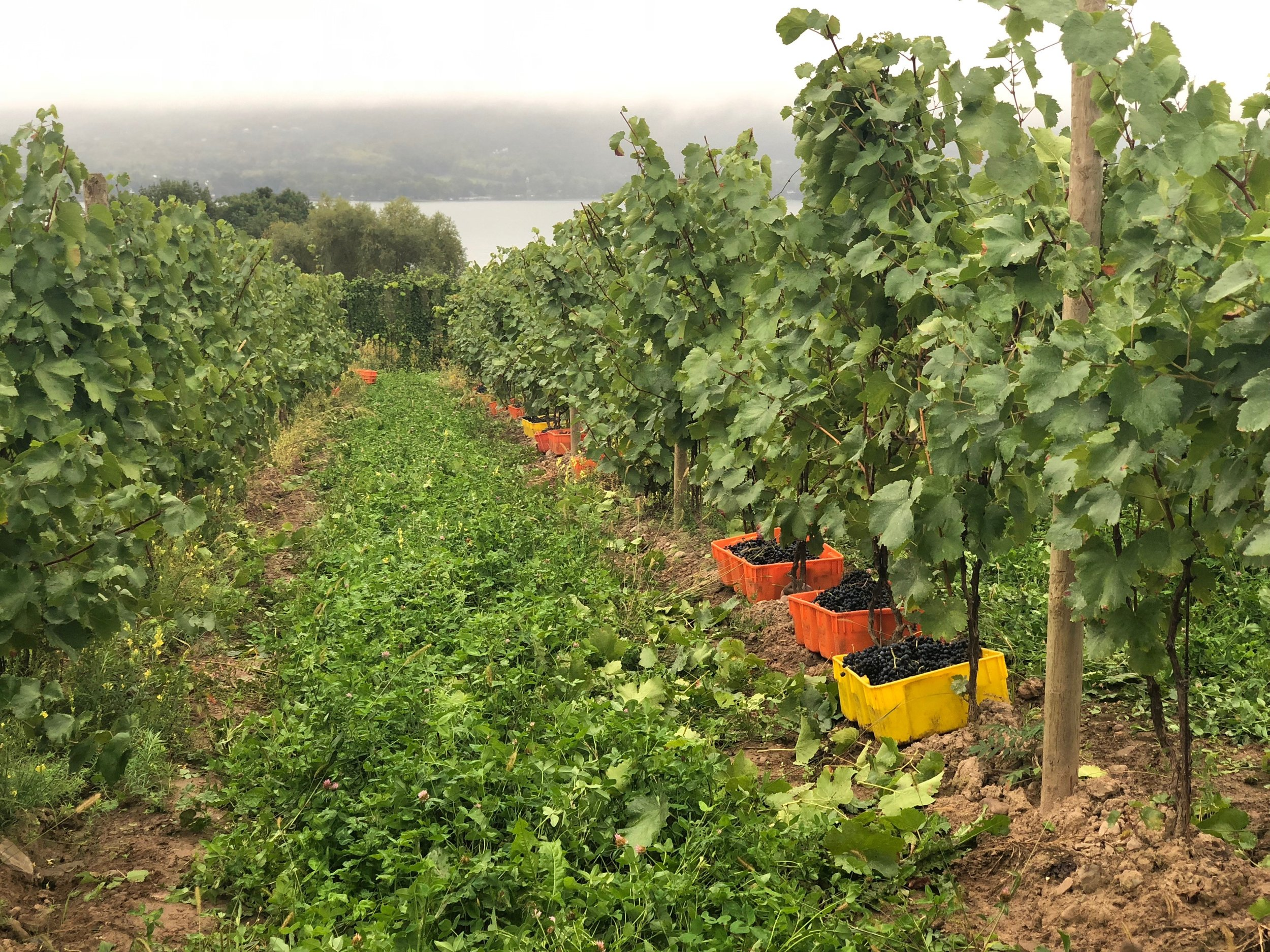 Vineyard rows - Ingle Vineyards - Canandaigua Lake.jpg