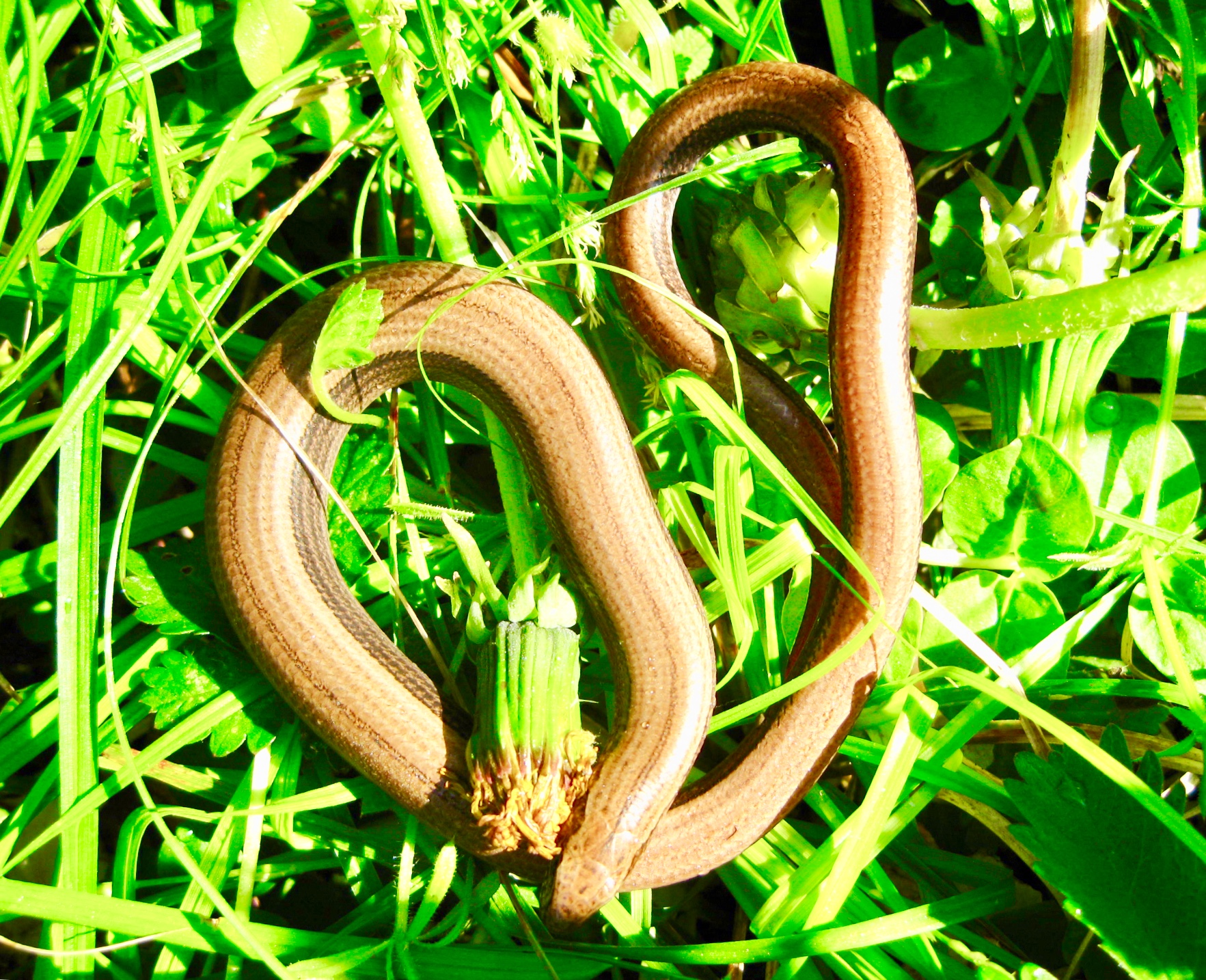 A basking slow worm  Anguis fragilis  (photo by Matt Cook)