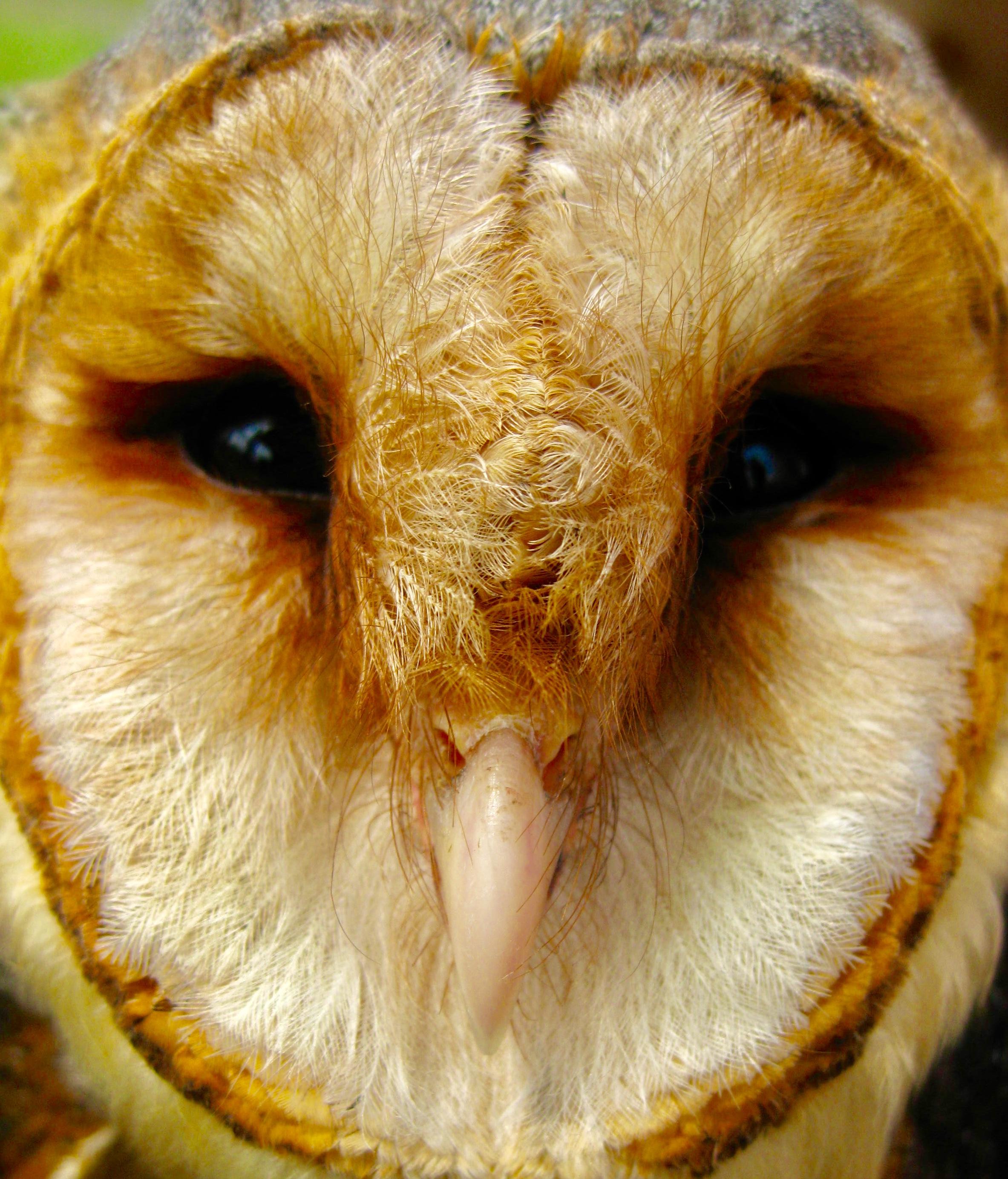 A barn owl  Tyto alba  (photo by Matt Cook)
