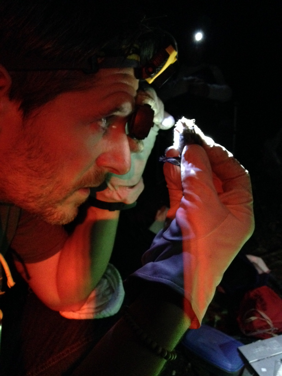 Identifying a bat via it's dentition (photo by Courtenay Holden)