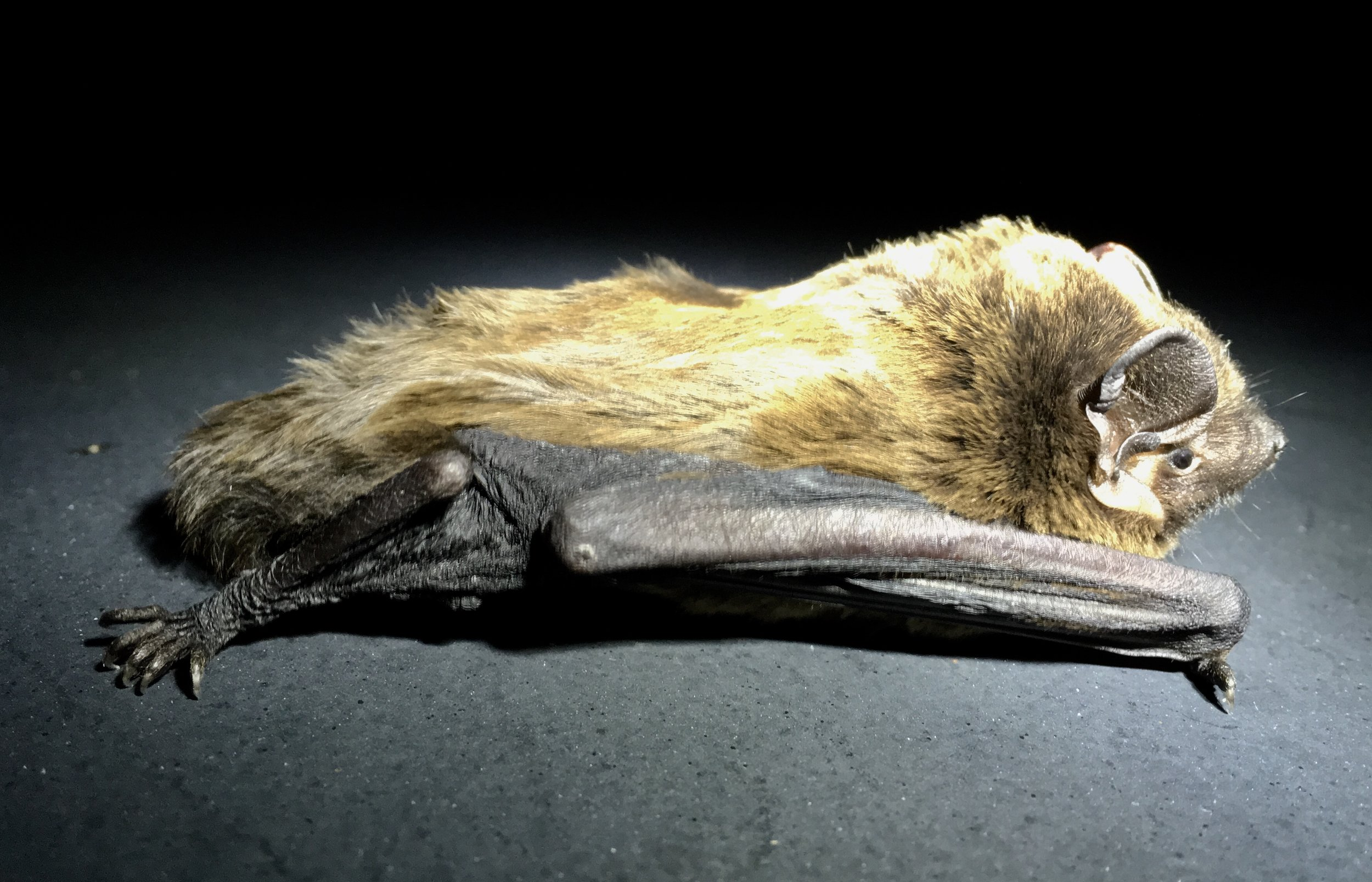 A Leisler's bat  Nyctalus leisleri  caught temporarily on an advanced licence bat survey (photo by Matt Cook)