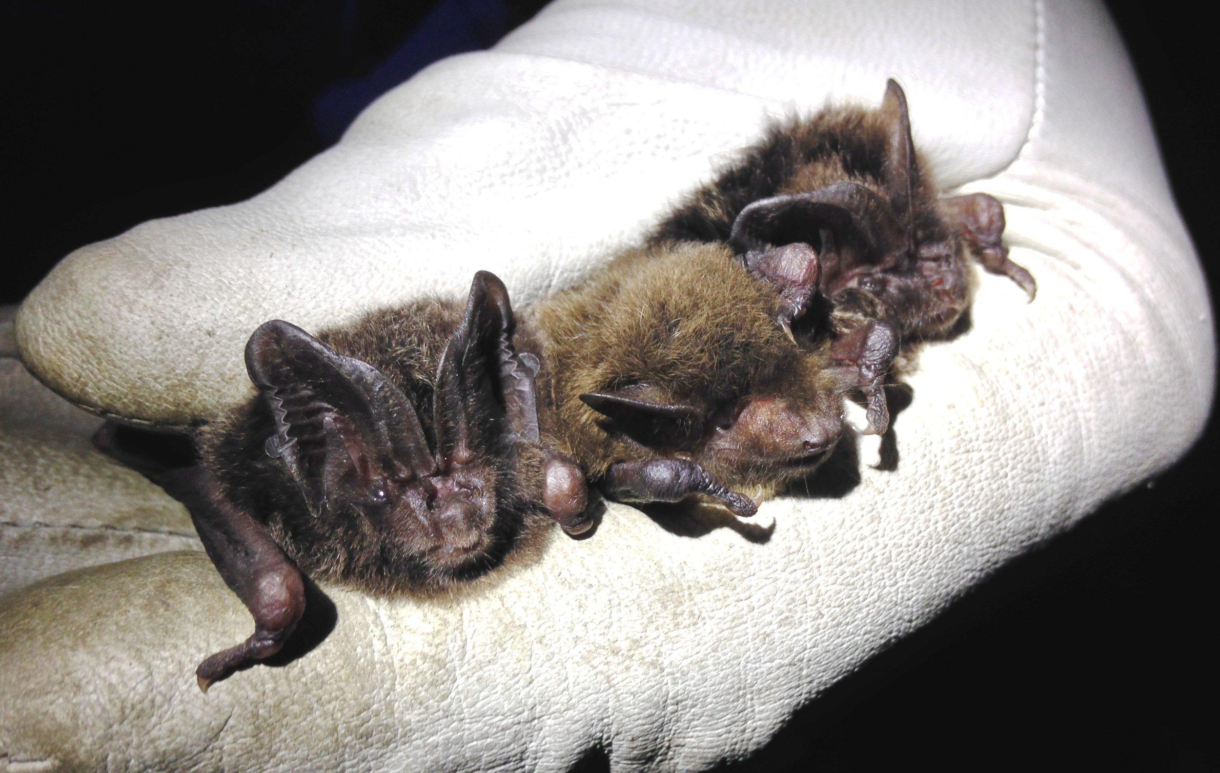 Two barbastelle  Barbastella barbastellus  and a Nathusius' pipistrelle  Pipistrellus nathusii  caught temporarily on an advanced licence bat survey (photo by Matt Cook)
