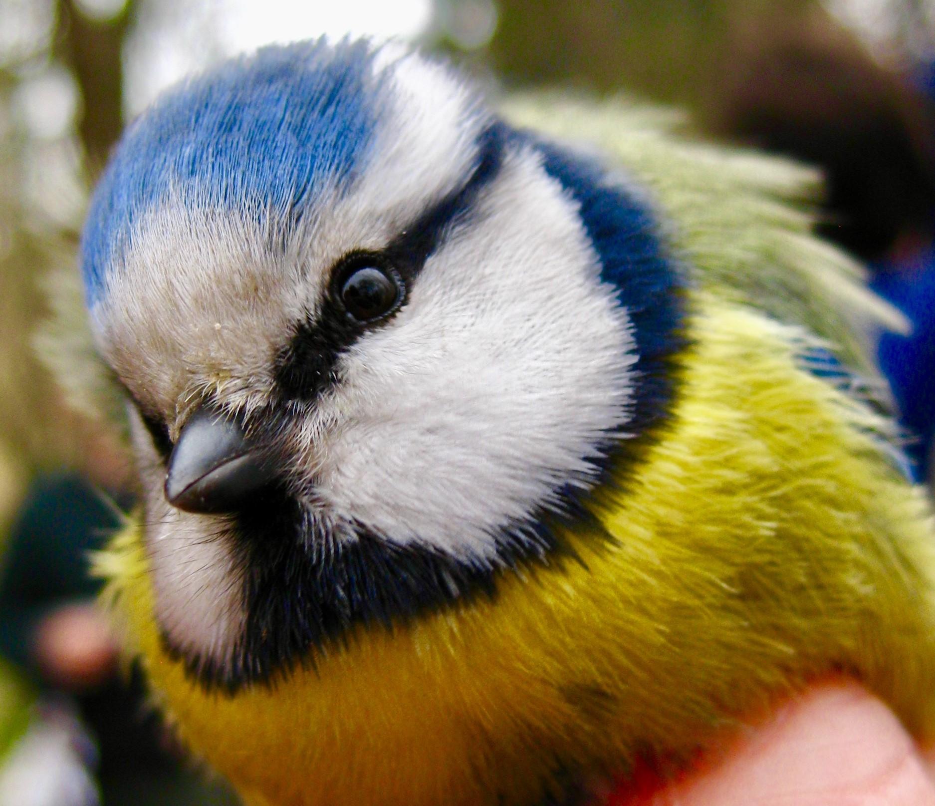 A blue tit (photo: Matt Cook)