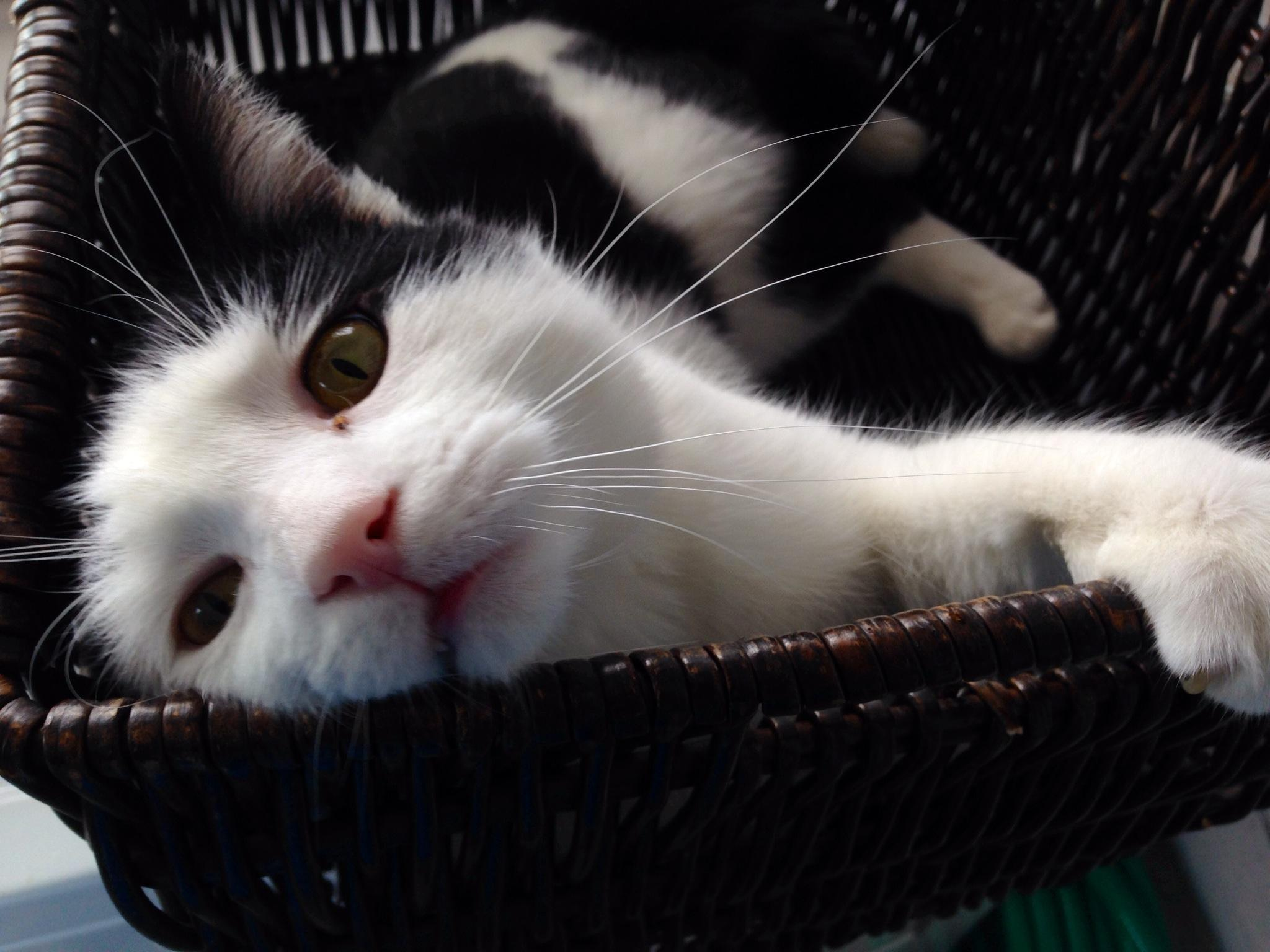 ADOPTED!! Chester is FIV+ and was recently surrendered to us. We started him on our regime of supplements and quality food. Not too much food though as he's bit overweight… Chester is a sweet, sweet boy!