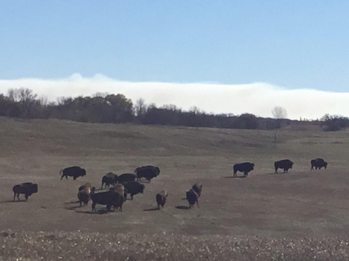 Dale and Beth Rengstorfs' Rolling R Ranch, where they raise 700 head of bison for marketing to grocery and restaurant operations across the country, recently became the first farm operation in Becker County to be certified under the Minnesota Ag Water Quality Certification Program. (Submitted photo)