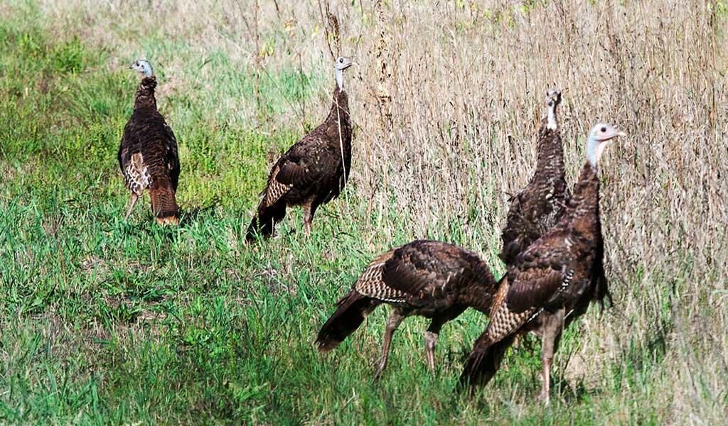 Turkey lottery applications cost $5 and can be purchased online at mndnr.gov/buyalicense, by phone at 888-665-4236, or in person from a license agent. Successful applicants will receive a postcard in the mail by mid-February and can purchase their hunting license starting March 1.